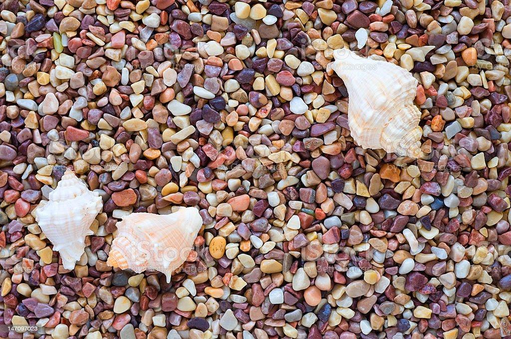 Sea Shell Trio on Pebbles royalty-free stock photo