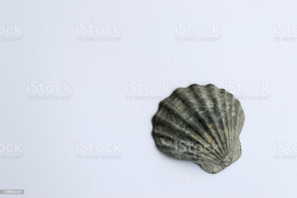 Sea shell white background stock photo