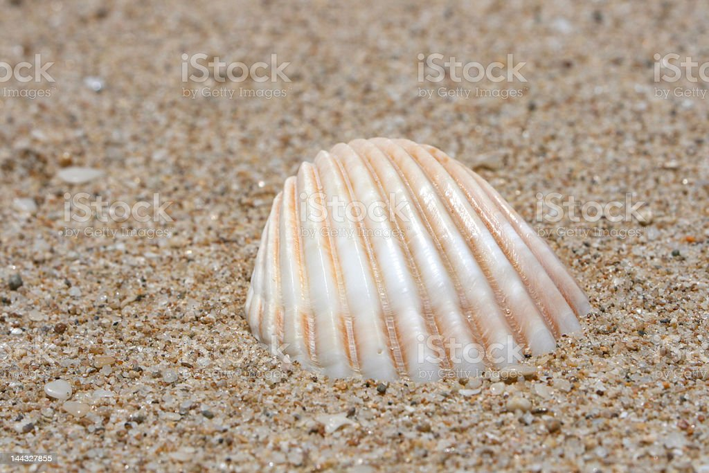 Sea Shells 3 royalty-free stock photo