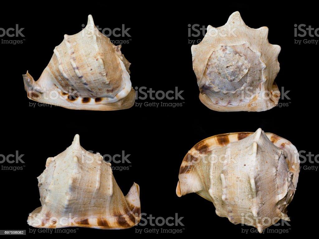 sea shells isolated stock photo