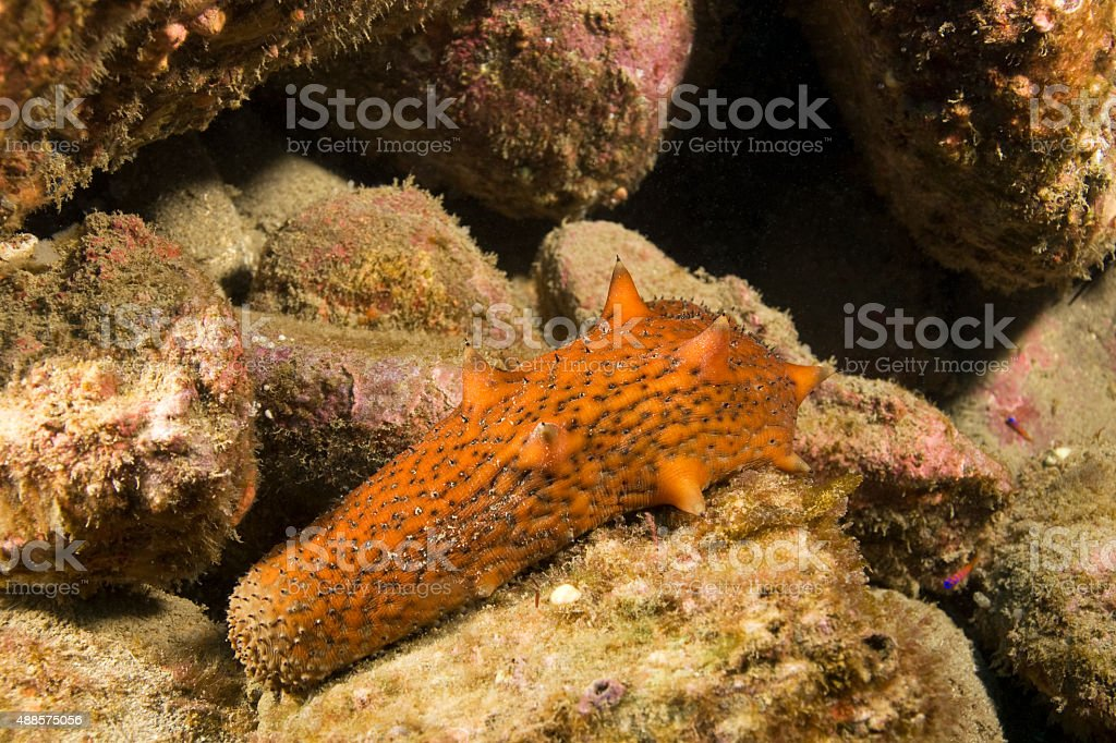 Sea slug at Catalina Island stock photo