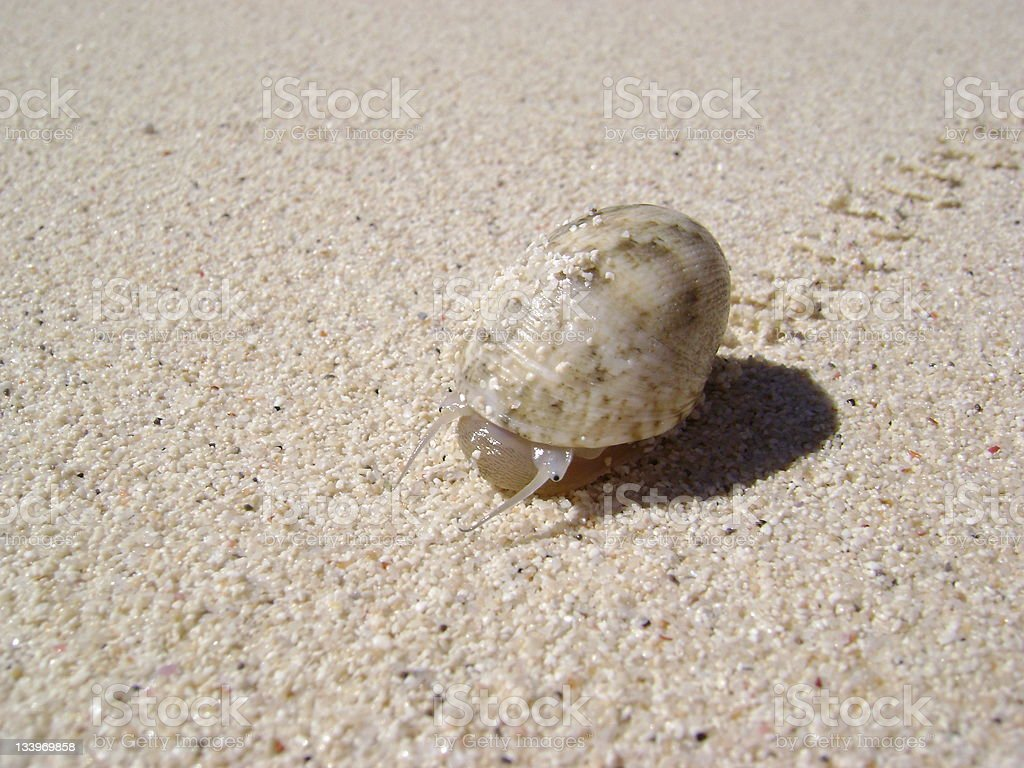 Sea Snail on the Beach royalty-free stock photo