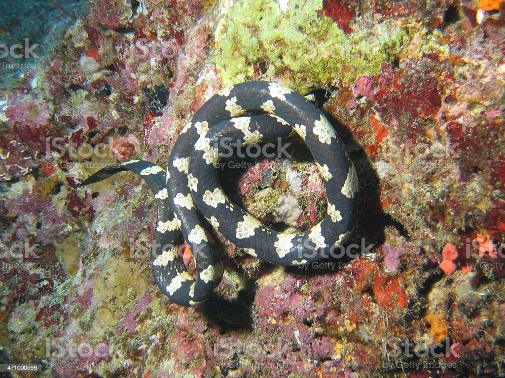Sea Snake Coiled royalty-free stock photo