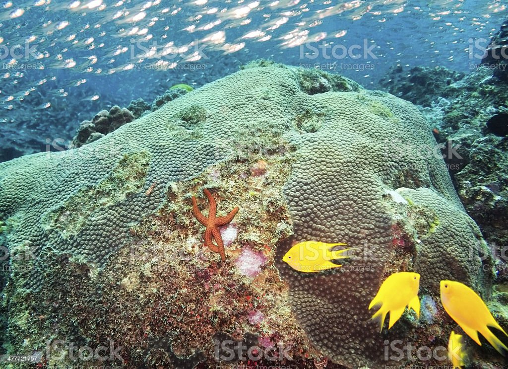 Sea Star and Fishes, Similan Islands coral reef, Phuket, Thailand royalty-free stock photo