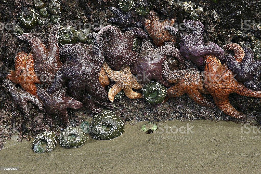 Sea Stars (Starfish) and Sea Anemones, Strawberry Hill Beach, Oregon. stock photo