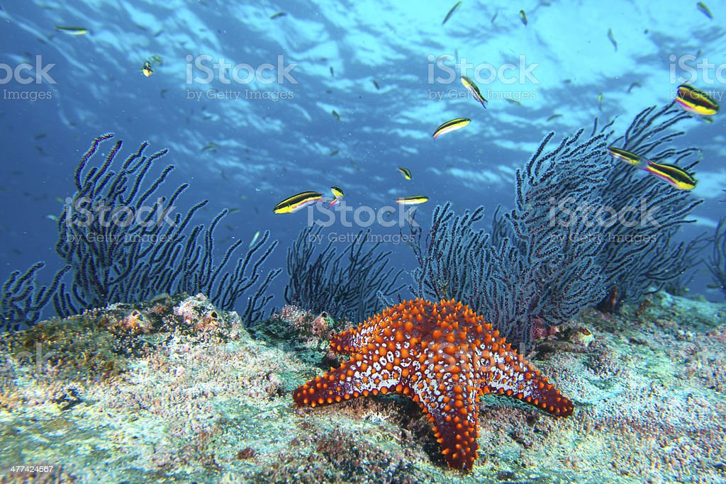 sea stars in a reef colorful underwater landscape stock photo