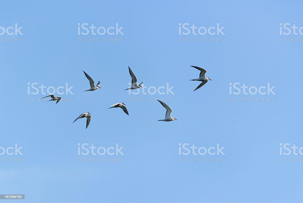 sea swallow [tern] royalty-free stock photo