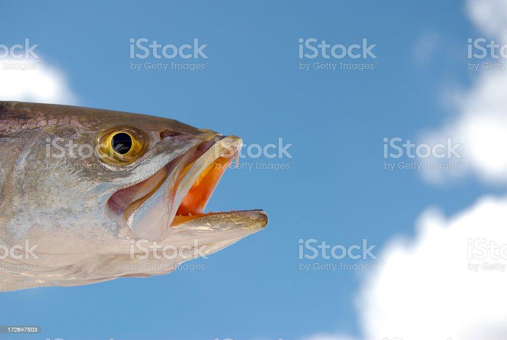 Sea Trout stock photo