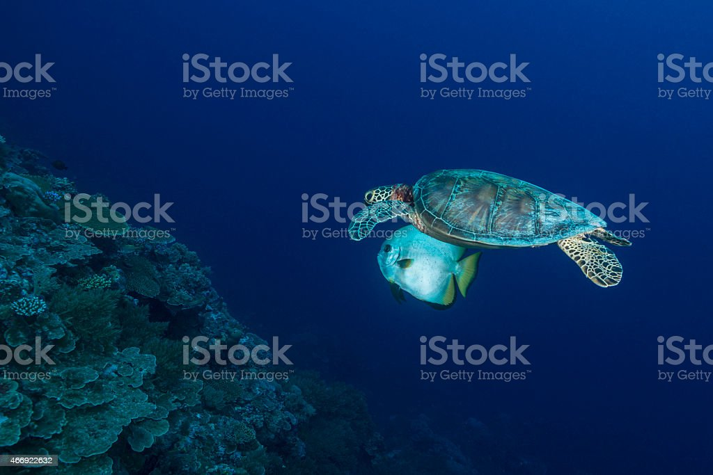 Sea turtle and fish stock photo