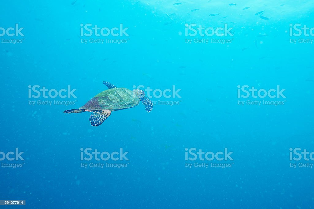 Sea Turtle and reef coral stock photo