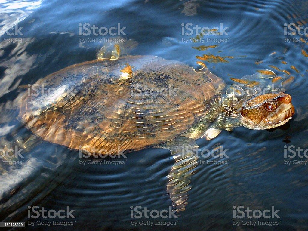 Sea turtle at Katherine Gorge stock photo