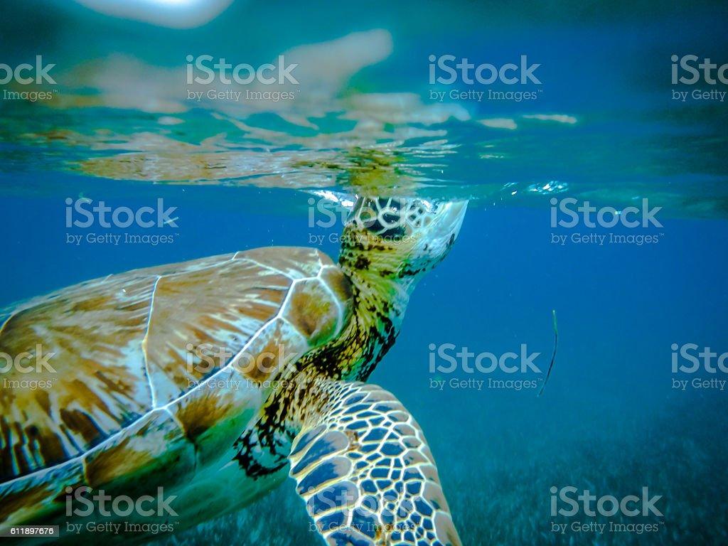 Sea turtle breathing in caribbean sea - Caye Caulker, Belize stock photo