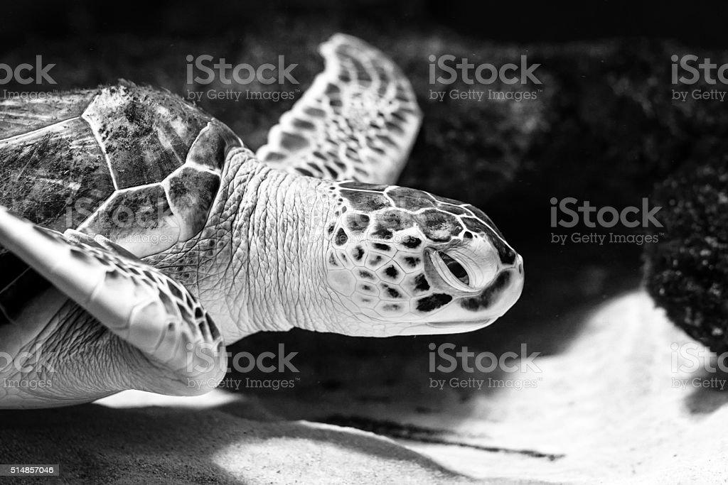 Sea turtle closeup black and white photo grain added stock photo