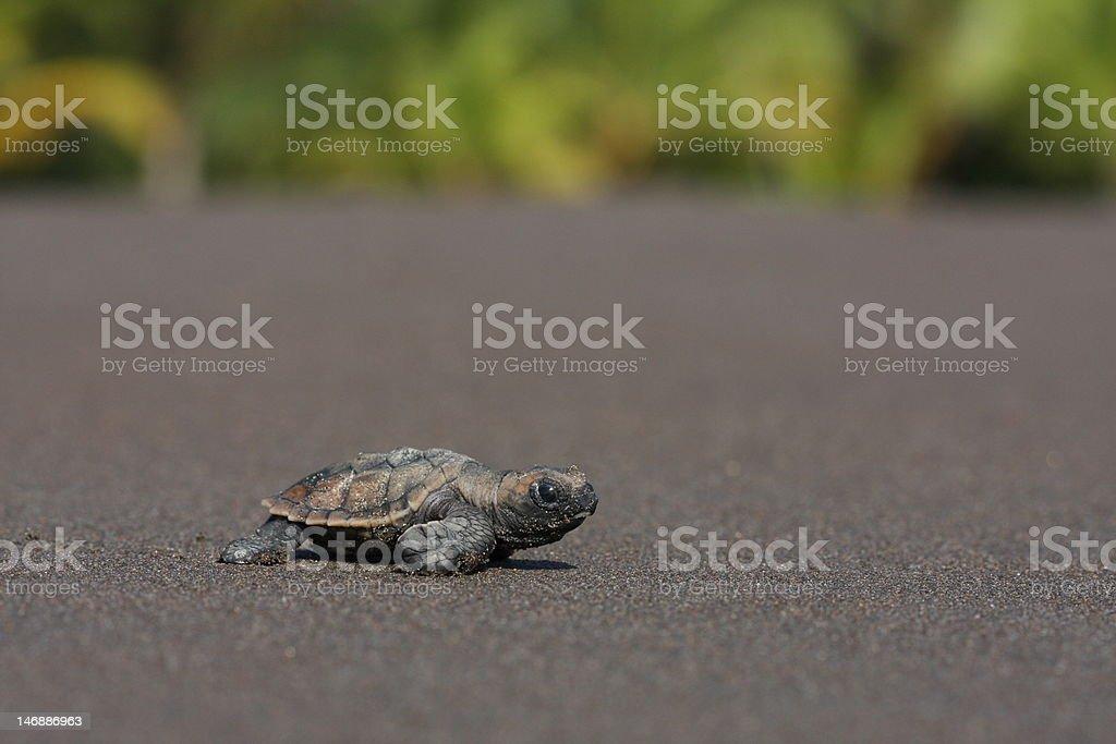 Sea turtle hatchling (Eretmochelys imbricata) stock photo
