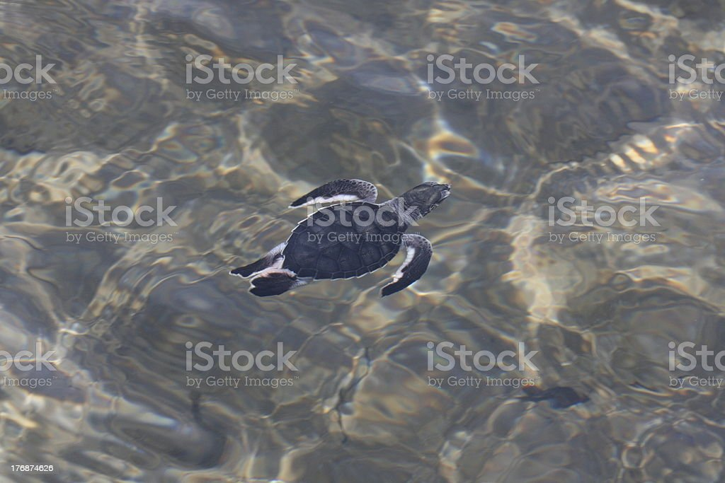 Sea turtle hatchling (Chelonia mydas) royalty-free stock photo