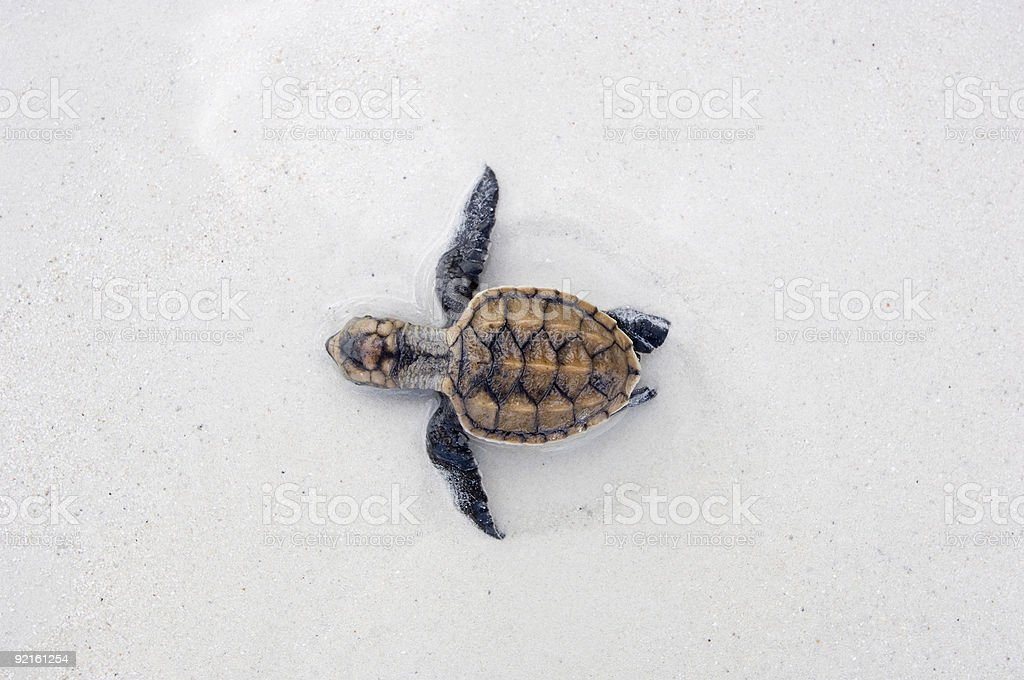 Sea turtle hatchling stock photo
