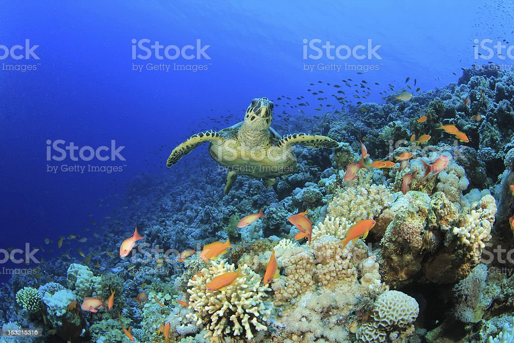 A sea turtle in a coral reef at the bottom of the sea stock photo