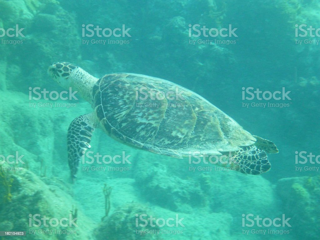 Sea Turtle in Carribean stock photo