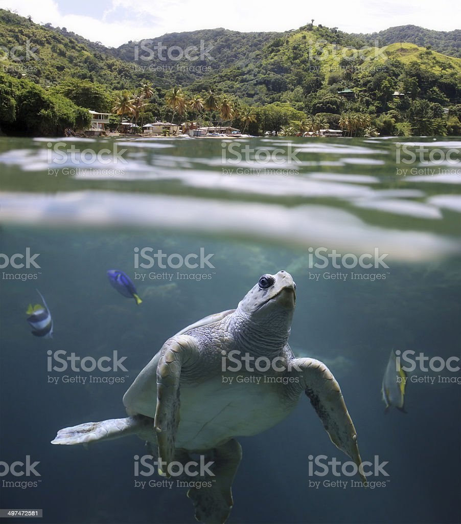 Sea turtle in front of tropical Beach stock photo