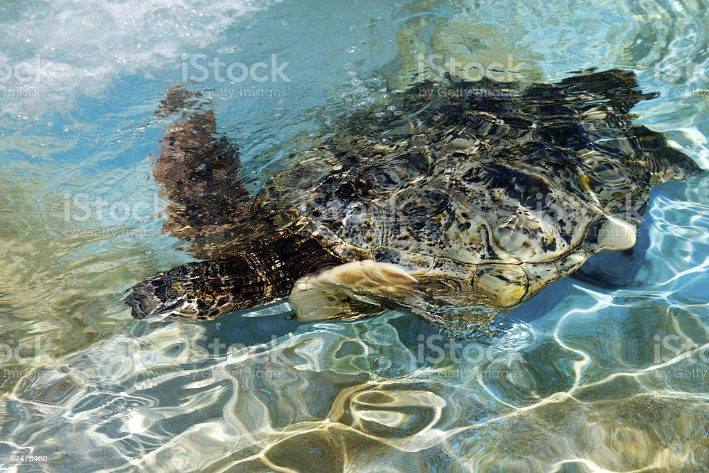 Meeresschildkröte im pool Lizenzfreies stock-foto