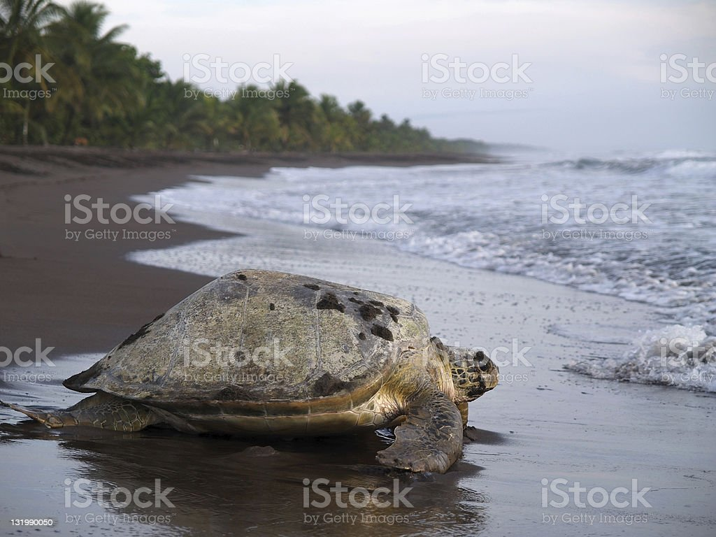 Sea turtle in Tortuguero National Park, Costa Rica royalty-free stock photo