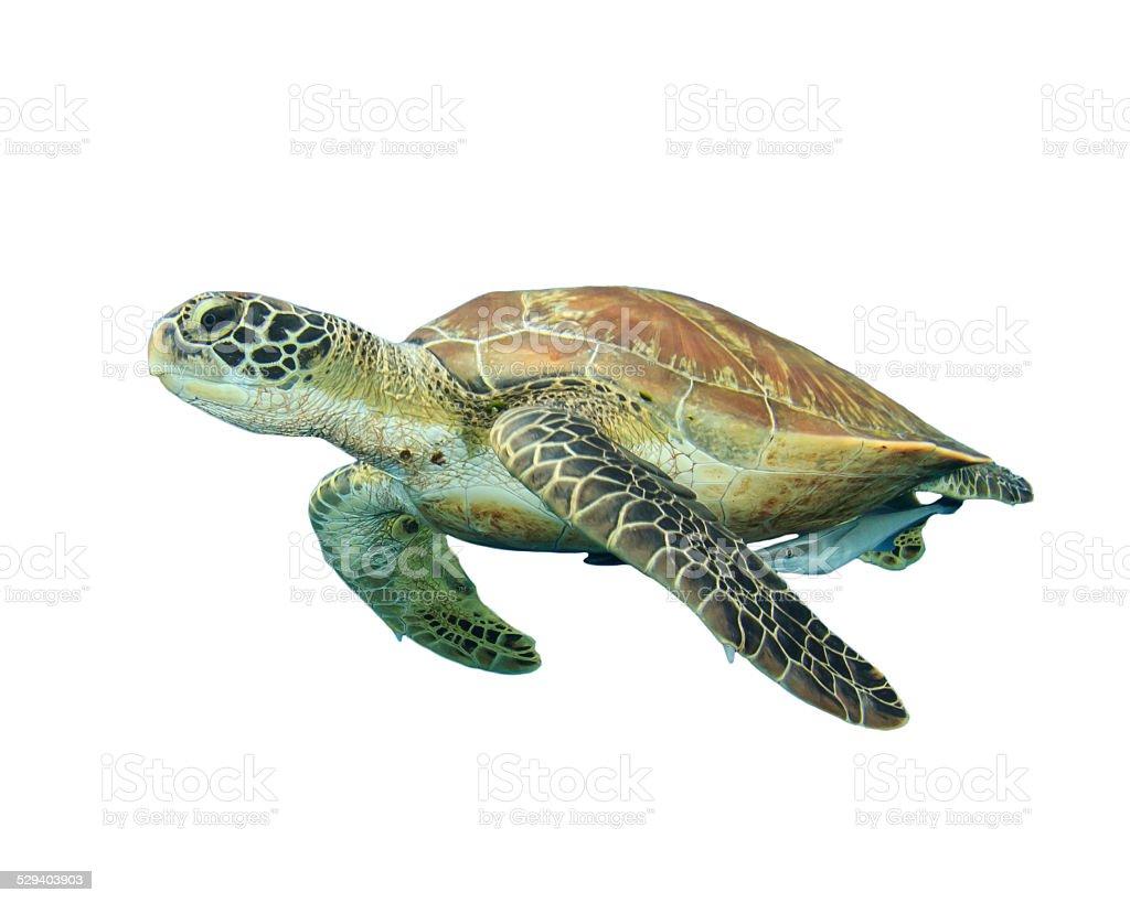 Sea Turtle isolated stock photo