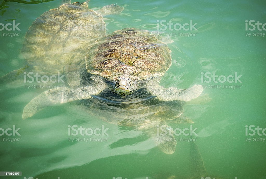 Sea Turtle Looking Up royalty-free stock photo