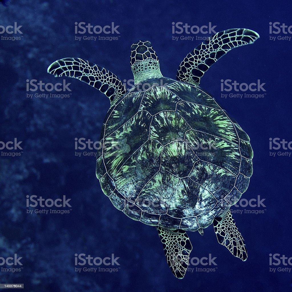 Sea Turtle Maldives stock photo