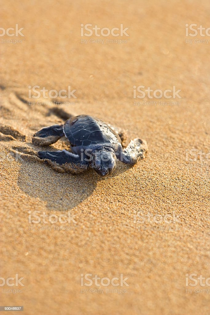 Sea turtle moving across the sand stock photo
