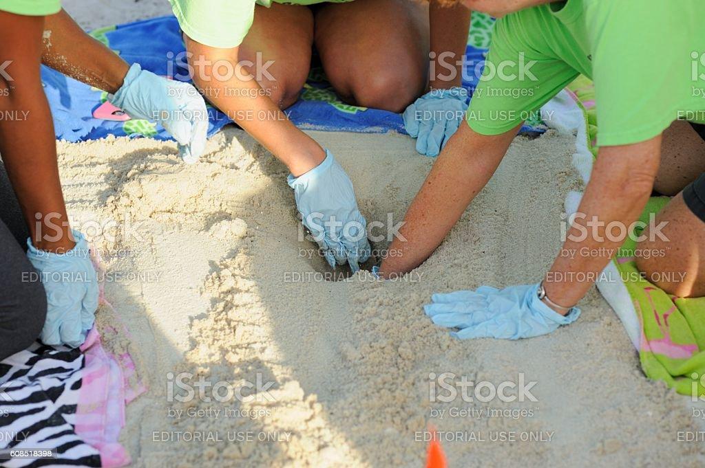 Sea turtle nest egg surveying in Key West stock photo