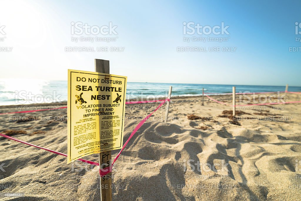 Sea Turtle Nesting on Beach stock photo