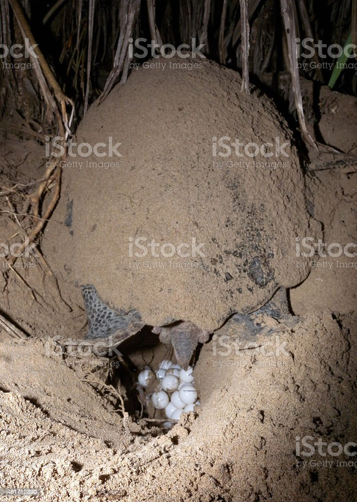 Sea turtle nesting stock photo
