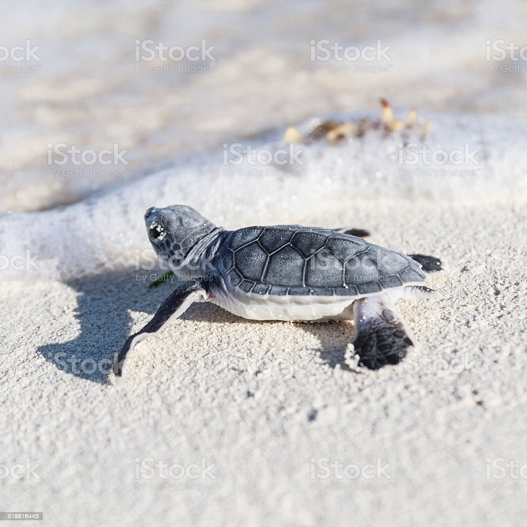 Sea turtle newborn is reaching the sea. Freedom concept. stock photo