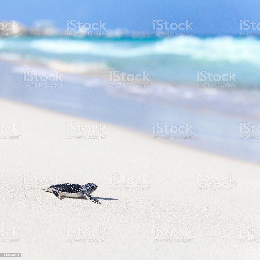 Sea Turtle Newborn on a Beautiful Beach. Defocused City Background. stock photo