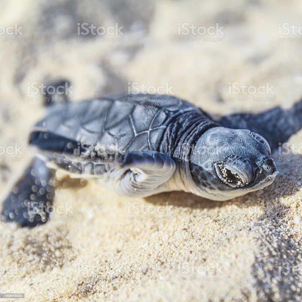 Sea turtle newborn. royalty-free stock photo