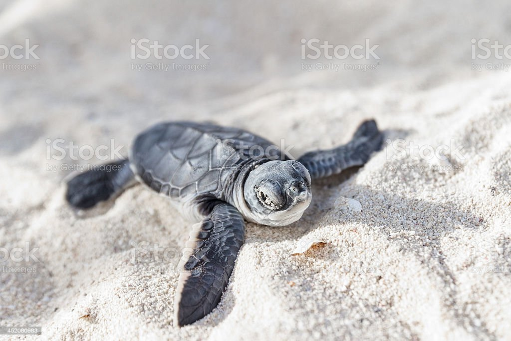 Sea turtle newborn.Semi front view. stock photo