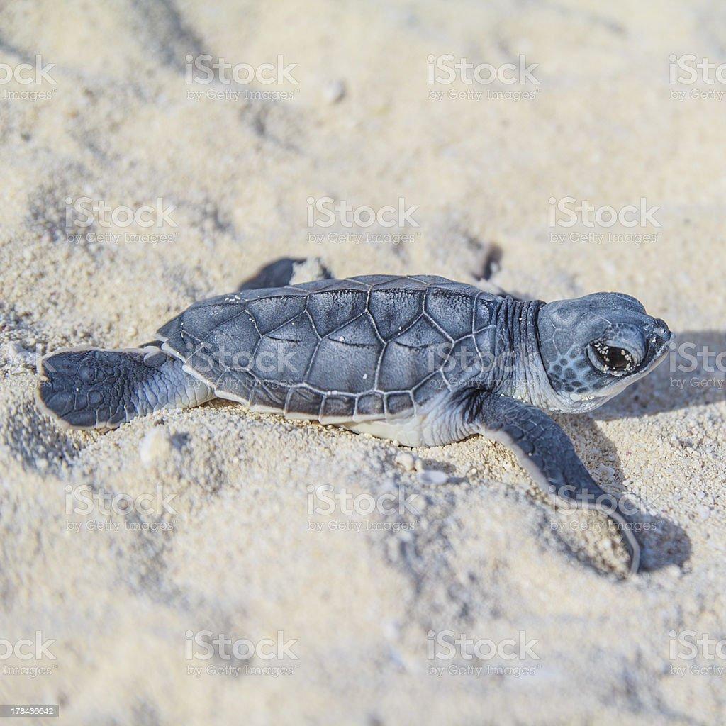 Sea turtle newborn.Side view 2.Square. royalty-free stock photo