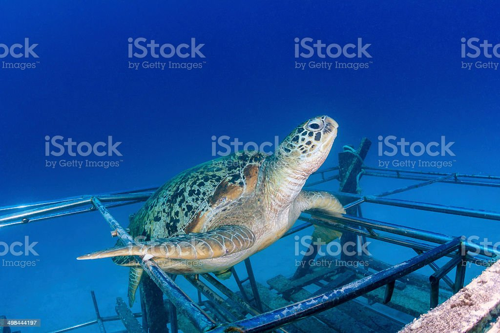 Sea turtle on an artificial reef stock photo