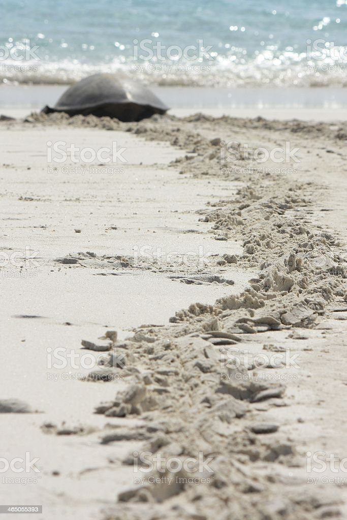Sea Turtle on Beach stock photo