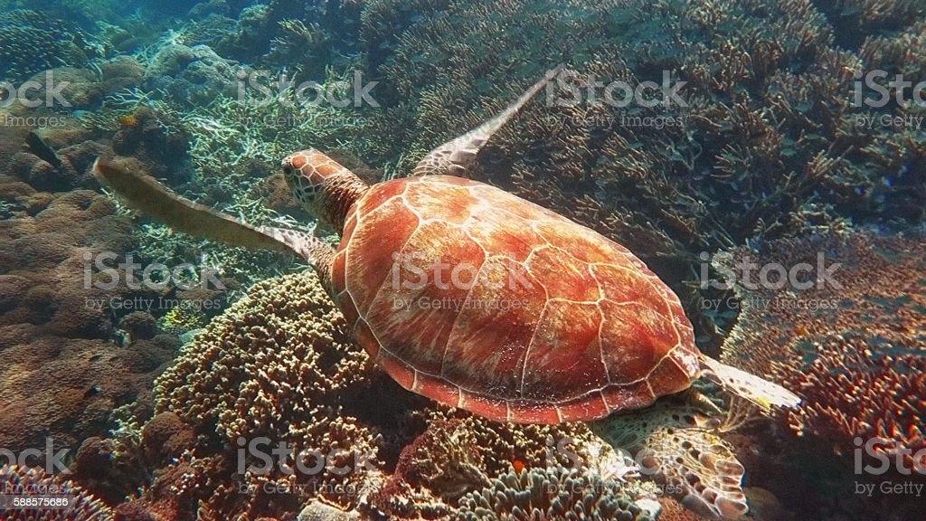 Sea Turtle on Hard Coral, Sealife in Sipadan, Malaysia stock photo