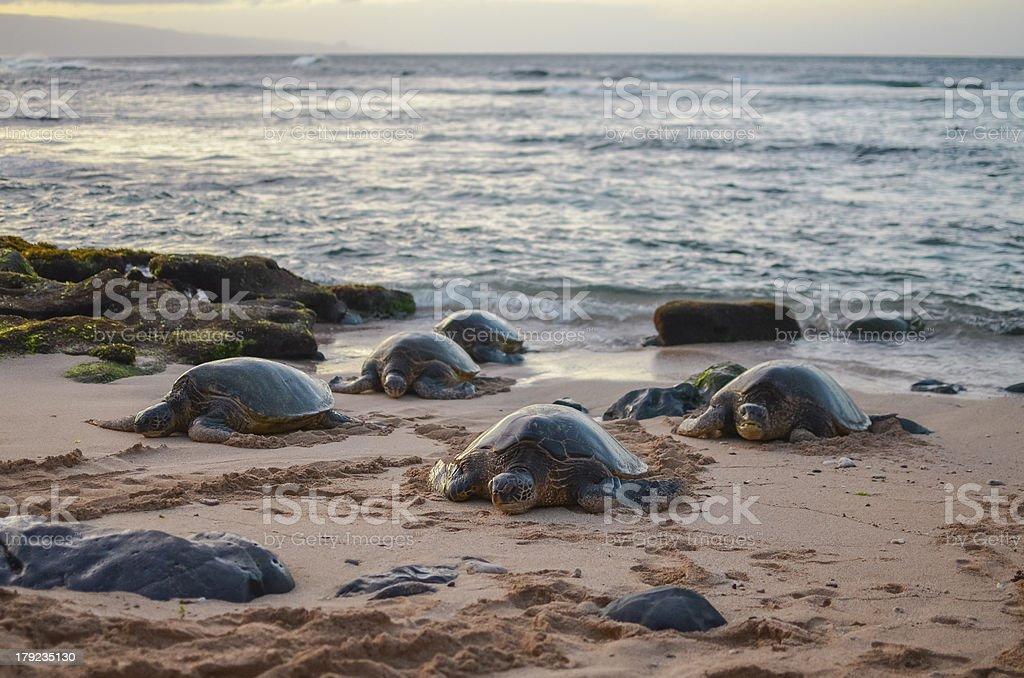 Sea Turtle on Hawaii royalty-free stock photo