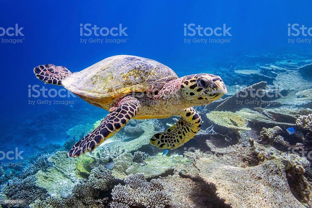 Sea turtle on Maldives stock photo