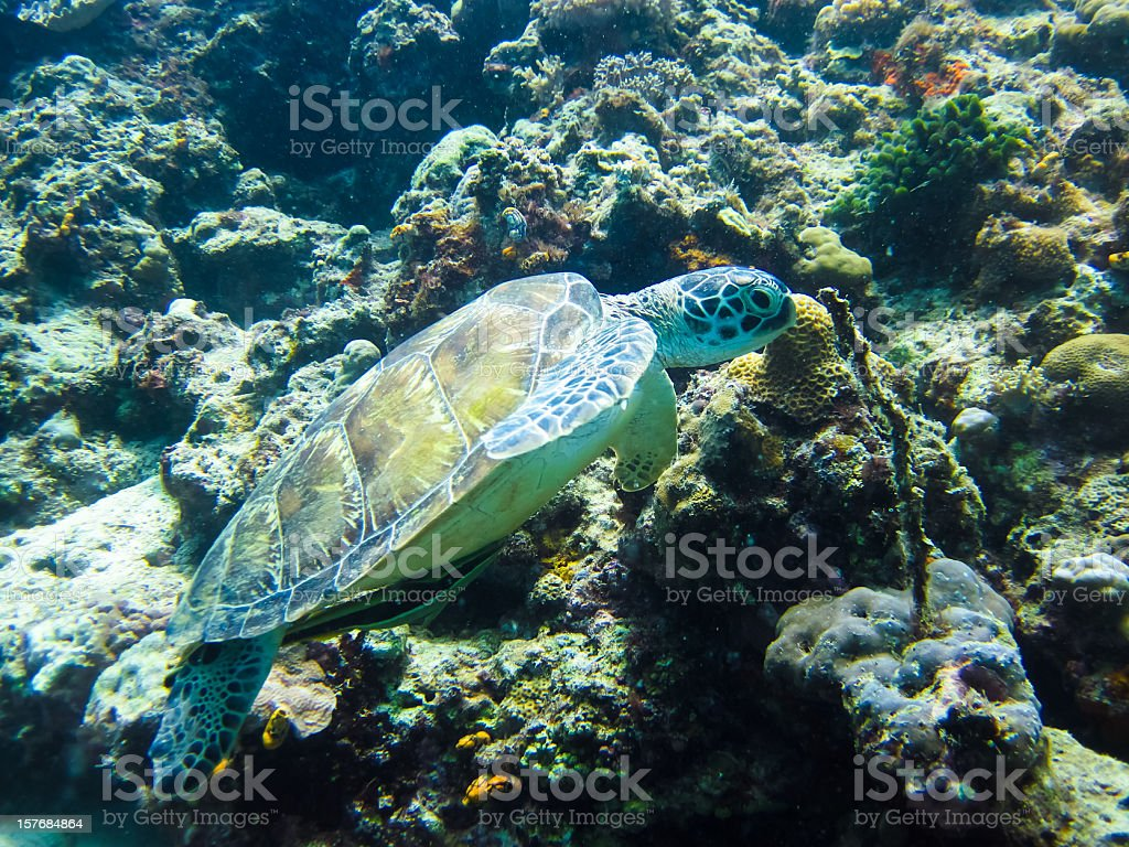 Sea turtle on Sipadan coral reef, Borneo stock photo