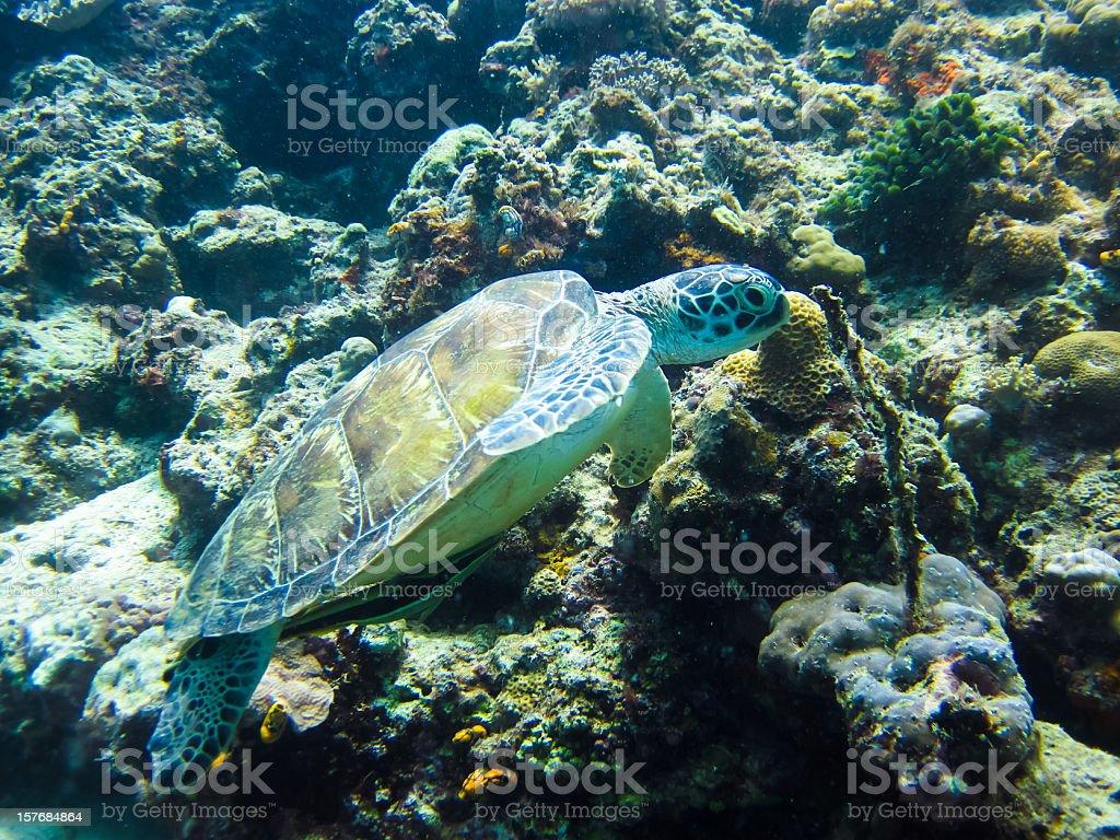 Sea turtle on Sipadan coral reef, Borneo stock photo