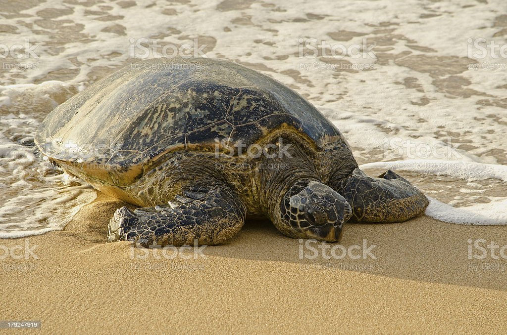 Sea Turtle on the Beach royalty-free stock photo