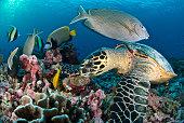 sea turtle on the reef