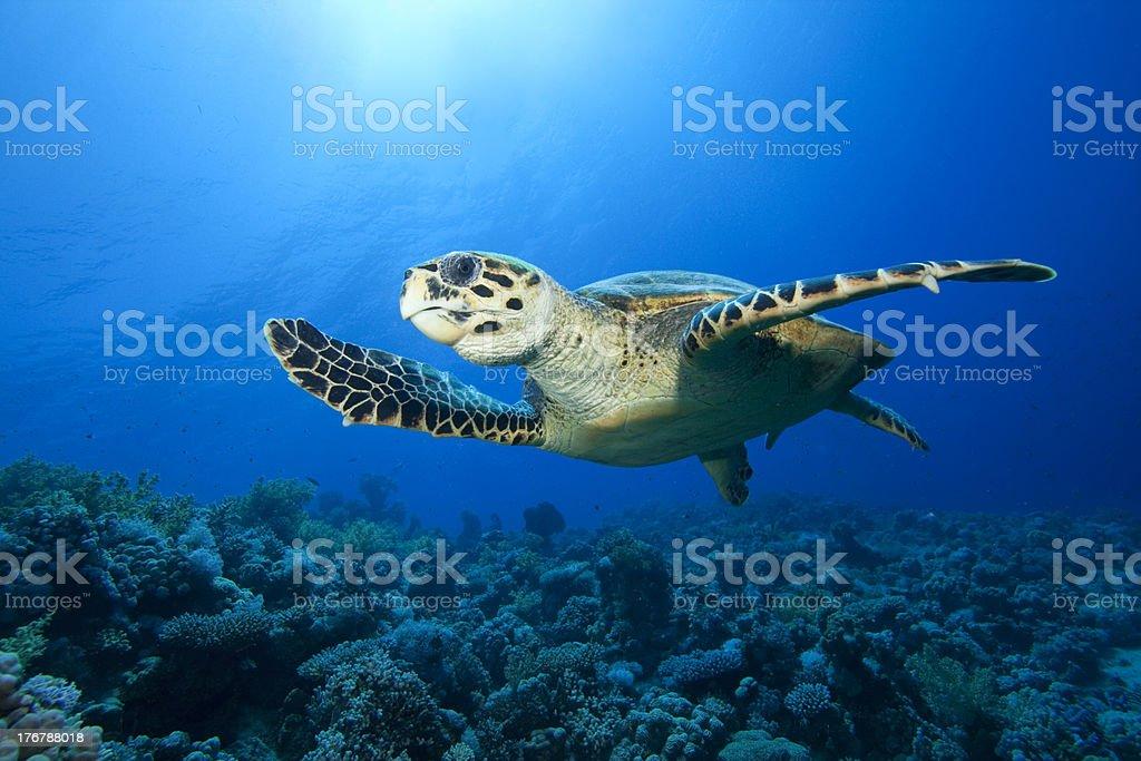 Sea Turtle royalty-free stock photo