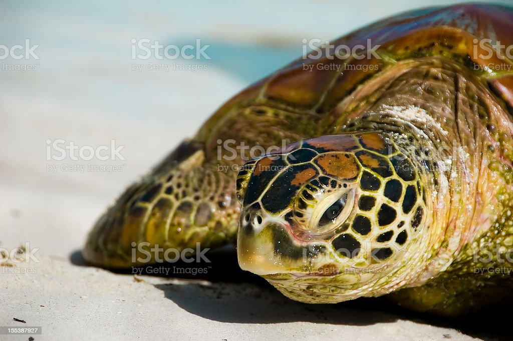 A sea turtle relaxing in the white sands stock photo