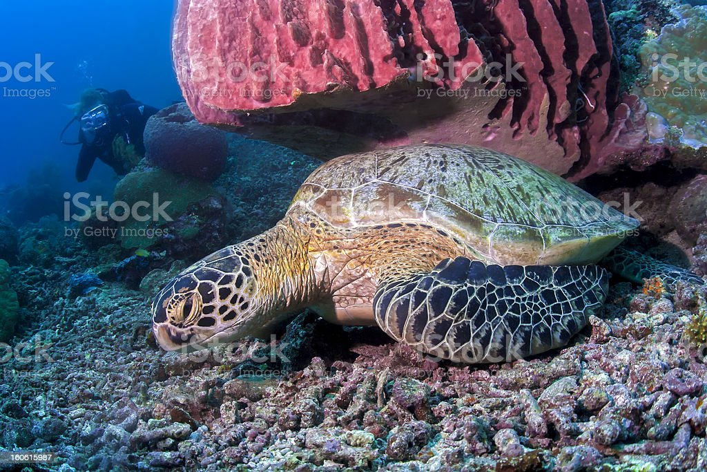 Sea Turtle resting under red sponge coral royalty-free stock photo
