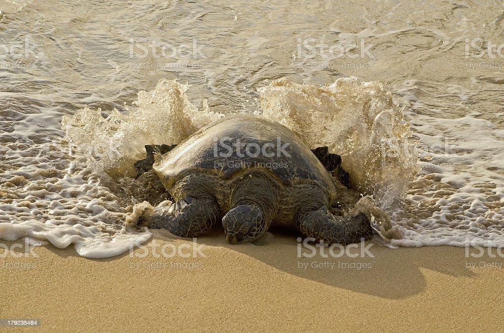 Sea Turtle Surfing ashore royalty-free stock photo